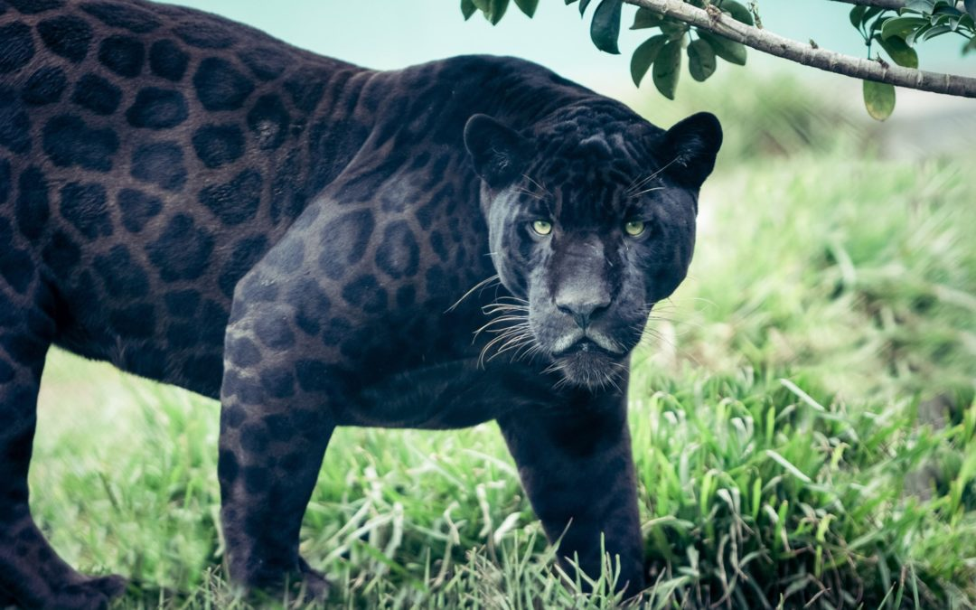 Panther Medicine: A True Fable